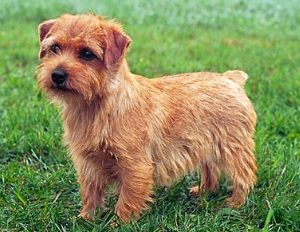 terrier-norfolk